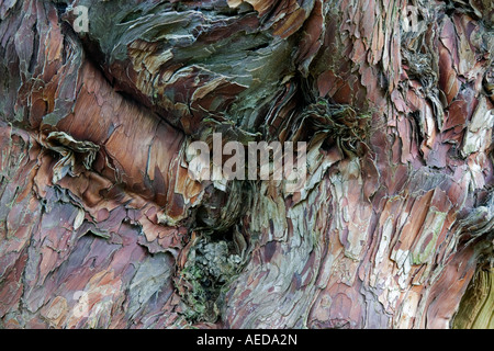 detail of ancient yew tree bark - Stock Photo