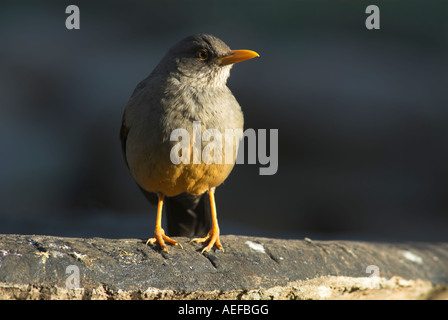 Olive Thrush (Turdus olivaceus) perched on a plank of wood - Stock Photo