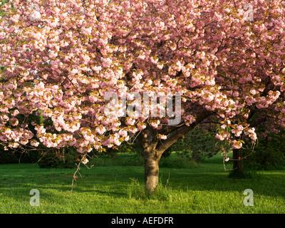 Canada Ontario Niagara Falls School of Horticulture Japanese Flowering Cherry tree in bloom Prunus Serrulata family - Stock Photo