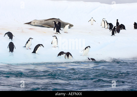 chinstrap penguins Pygoscelis antarctica and leopard seal  on an iceberg off the South Shetland Islands Antarctica - Stock Photo