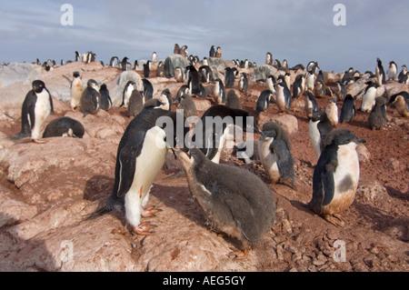 adelie penguin Pygoscelis Adeliae parent feeds its chick western Antarctic Peninsula Antarctica Southern Ocean - Stock Photo