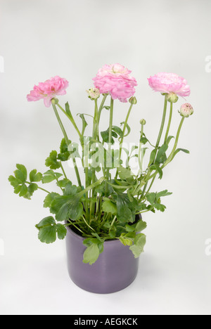 Turban Ranunculus, Persian Buttercup (Ranunculus asiaticus hybrid), flowering potted plant studio picture - Stock Photo