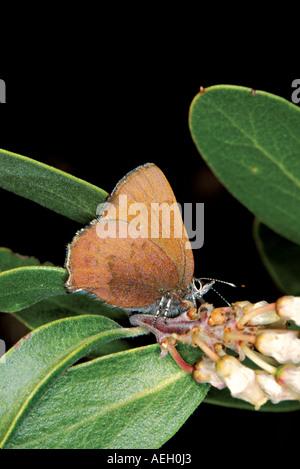 Brown Elfin - Stock Photo