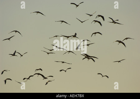 Yellow billed Stork Mycteria ibis South Luangwa National Park Zambia flock in flight at sunset in silhouette - Stock Photo