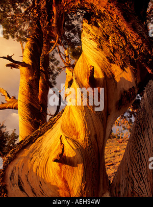 Close up of wood on Pinion Pine tree Ancient Bristlecone Pine Forest California