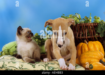 young Siamese cat snarling at a Whippet dog - puppy - Stock Photo
