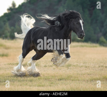 5 year old Gypsy Vanner Horse stallion - Stock Photo