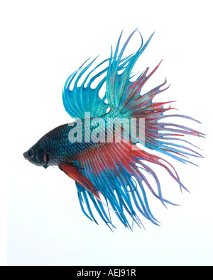 Turquoise and Red Crown Betta fish displaying elaborate fins and gesturing with tail fully expanded facing down - Stock Photo