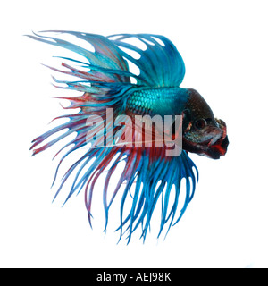 Turquoise and Red Crown Betta fish displaying elaborate fins and gesturing with its gills wide open facing front - Stock Photo