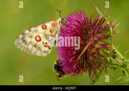Mountain Apollo (Parnassius apollo) with dewdrops and a bumblebee (Bombus lucorum) on a Spear Thistle(Cirsium vulgare) - Stock Photo