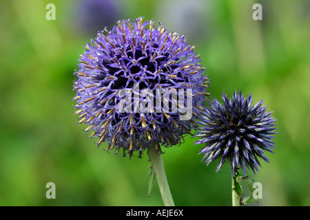 Flowering Blue Globe Thistle (Echinops bannaticus Taplow Blue) - Stock Photo