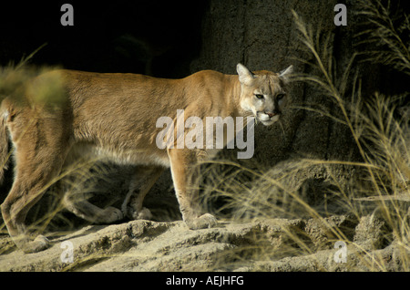 A mountain lion or couger also called a puma Felis concolor on an outcrop of rock in the mountains of central Arizona - Stock Photo