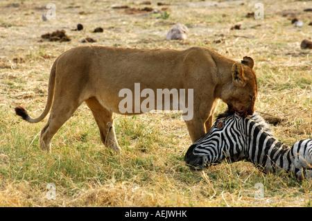 Lioness at a Zebra kill, Savuti Narional Park, Botswana - Stock Photo