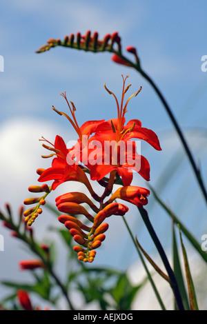 Flowering Montbretia (Crocosmia masoniorum) - Stock Photo