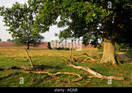 Landscape with old english oaks (Quercus robur) and flowering heather (Calluna vulgaris) and juniper (Juniperus - Stock Photo