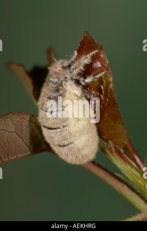 Vapourer Moth female - Orgyia antiqua - Stock Photo