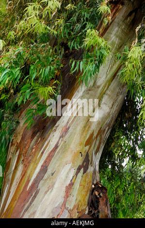 Eucalyptus tree peeling bark - Stock Photo
