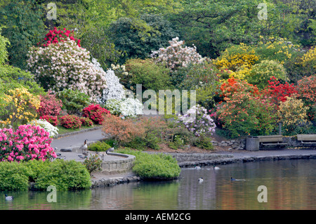 Pond and geese ducks in pond with bloominmg rhododendrons at Crystal Gardens Portland - Stock Photo