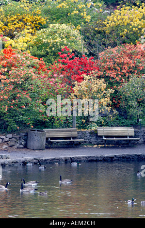 Pond and geese ducks in pond with bloominmg rhododendrons and azaleas at Crystal Gardens Portland - Stock Photo