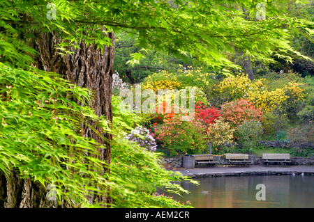 Pond and geese and ducks in pond with bloominmg rhododendrons and azaleas at Crystal Gardens Portland - Stock Photo