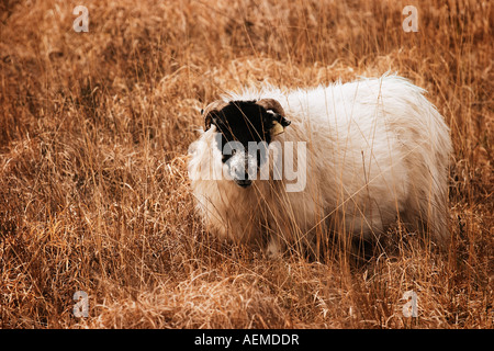 Sheep in Ring of Kerry County Kerry Eire Republic of Ireland Europe - Stock Photo