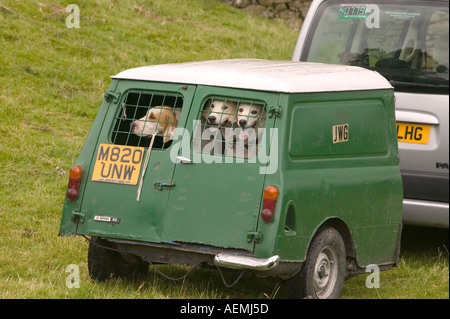 Fox hounds being towed in an old mini van at the Ings sheepdog Trials - Stock Photo