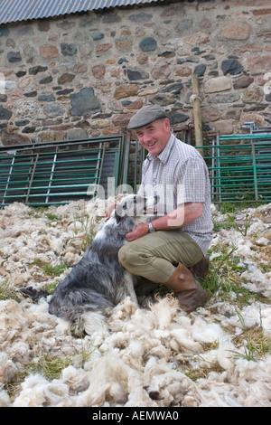 Shearing Sheep  Sheep farmer holding sheep Fleece, Bridge of Don, Scotland, UK  A roadside farm in Tomintoul. - Stock Photo