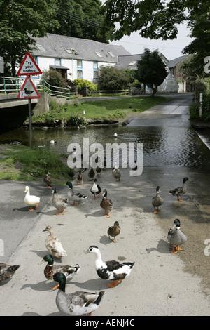 wildfowl ducks water fowl crossing at road ford ballsalla isle of man IOM isle of man - Stock Photo