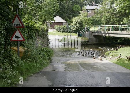 wildfowl ducks water fowl crossing at road ford ballsalla isle of man IOM - Stock Photo