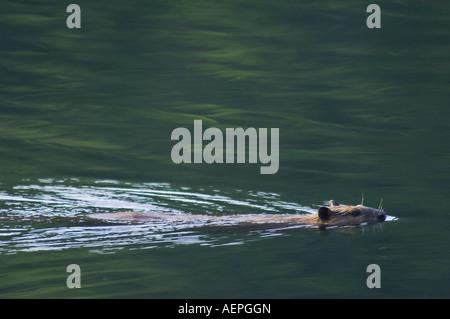American Beaver Castor canadensis adult in creek swimming McDonald Creek Glacier National Park Montana USA July - Stock Photo