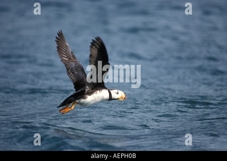 horned puffin Fratercula corniculata flying above the water Kenai Fjords National Park Alaska - Stock Photo