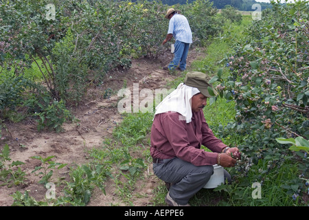 Gobles Michigan Migrant workers pick blueberries on a farm in southwestern Michigan - Stock Photo