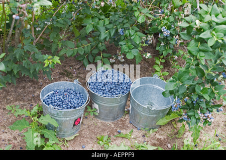 Gobles Michigan Blueberries picked by migrant workers on a farm in southwestern Michigan - Stock Photo