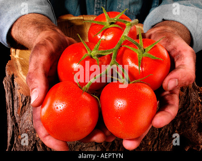MAN HOLDING VINE TOMATOES - Stock Photo