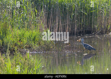 Grey Heron Fishing in Reed Bed Teifi Marshes Cilgerran Pembrokeshire West Wales  UK - Stock Photo