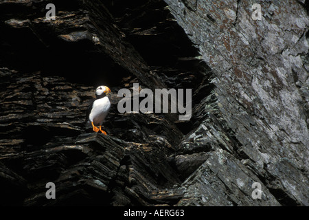 horned puffin Fratercula corniculata on cliffs in Kenai Fjords National Park southcentral Alaska - Stock Photo