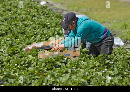 Strawberry picking by real Latin Mexican workers in Florida in winter field packing field packs markets for shipping - Stock Photo