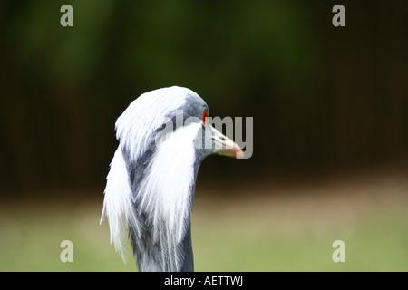 Demoiselle crane closeup - Anthropoides virgo - Stock Photo