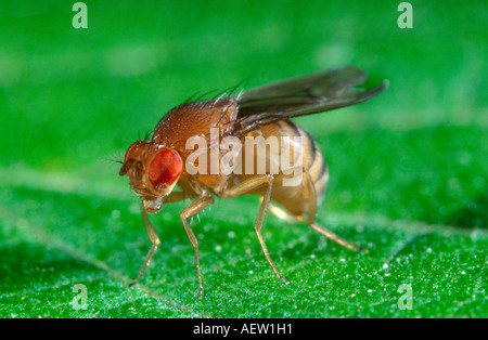 Vinegar fly otherwise known as Drosophila melanogaster Stock Photo