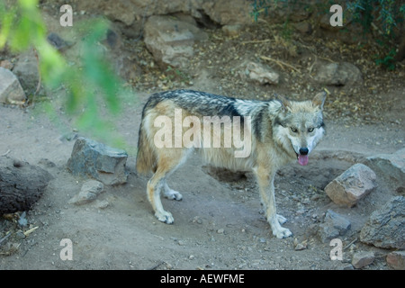 Mexican Gray Wolf Canis lupus baileyi also called Mexican Wolf and Lobo - Stock Photo