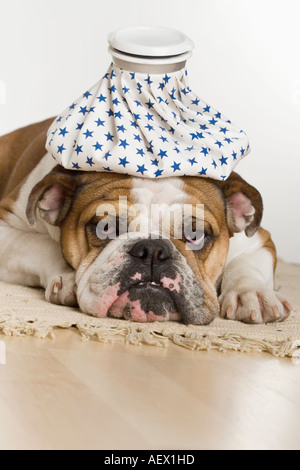 Bulldog with an icepack on head - Stock Photo