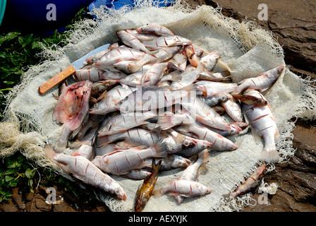 Freshly caught Tilapia fish at the little fishing village of Dunga on the shore of Lake Victoria near Kisumu Kenya - Stock Photo