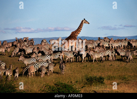 Masai giraffe in herd of zBurchell's zebras, Masai Mara, Kenya - Stock Photo