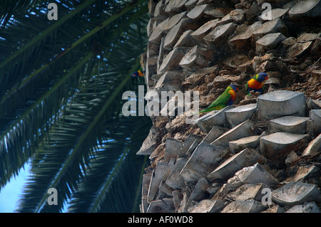 Rainbow lorikeets Trichoglossus haematodus nesting in cavities in a mature date palm Phoenix sp Perth Western Australia - Stock Photo