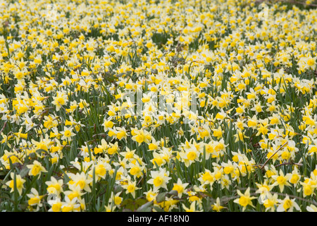Wild daffodils flowering at Gwen and Vera's Fields Nature Reserve near Dymock, Gloucestershire - Stock Photo