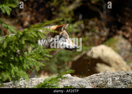 Wolf behind a tree - Stock Photo