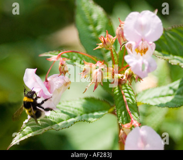 Close Up of Bee on Pink Himalayan Marsh Balsam and collecting nectar - Stock Photo