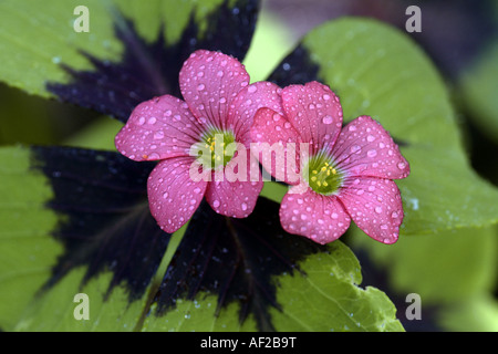 four-leafed clover (Oxalis tetraphylla, Oxalis deppei), blooming - Stock Photo