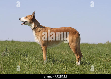 Canarian Warren Hound (Canis lupus f. familiaris), standing on meadow - Stock Photo