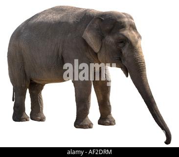 Young female asian (indian) elephant isolated on white background - Stock Photo
